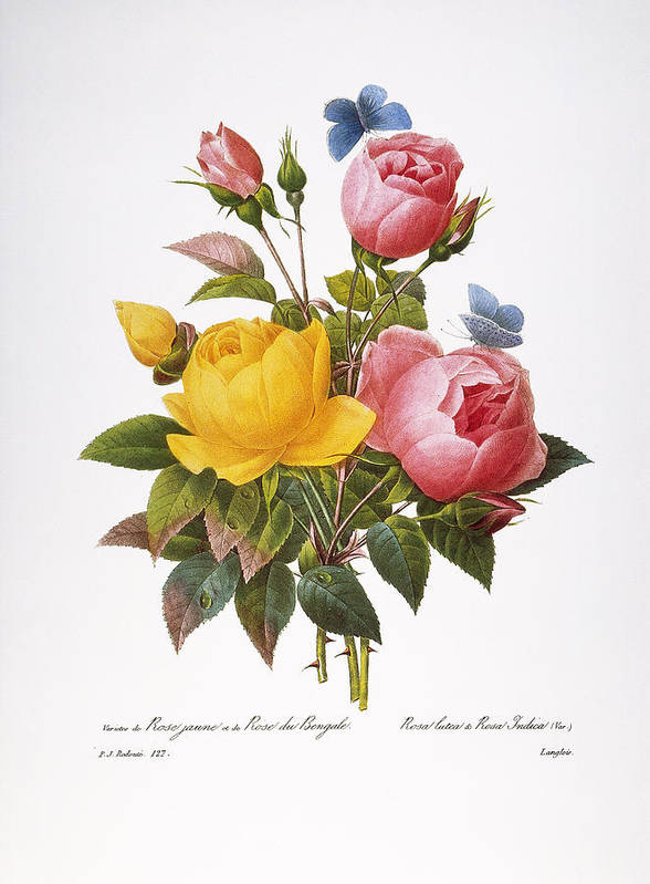 1833 Print featuring the photograph Redoute: Roses, 1833 by Granger