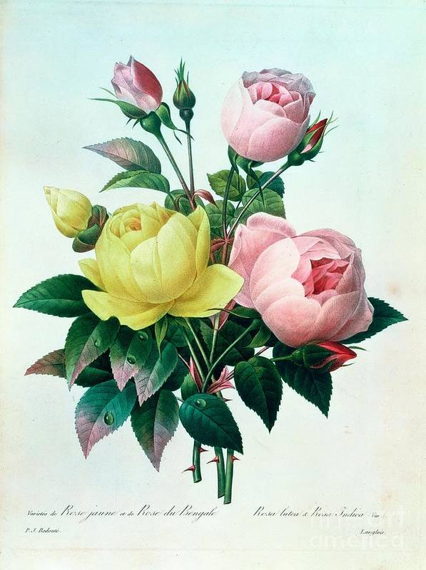 Rosa Art Print featuring the painting Rosa Lutea And Rosa Indica by Pierre Joseph Redoute