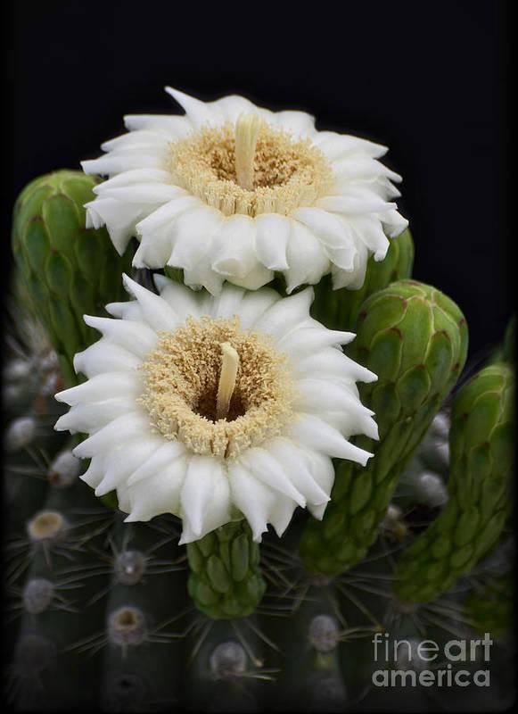 Arizona Art Print featuring the photograph Saguaro Blooms II by Saija Lehtonen