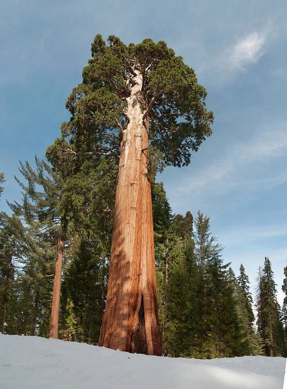 Ia National Park Art Print featuring the photograph Sequoia Trees by Wes Hanson