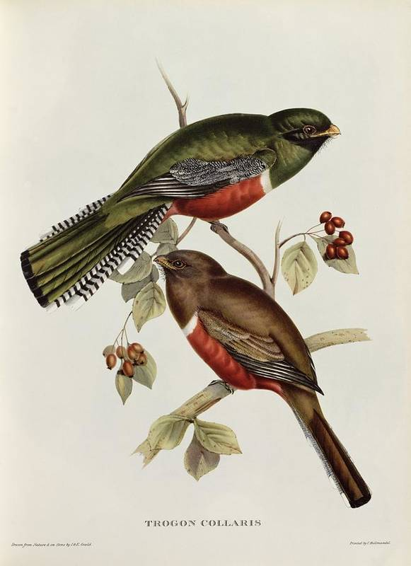 Trogon Art Print featuring the painting Trogon Collaris by John Gould