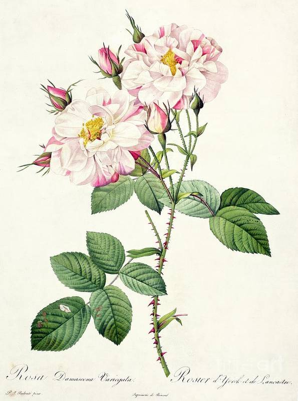 Rosa Print featuring the drawing York And Lancaster Rose by Pierre Joseph Redoute