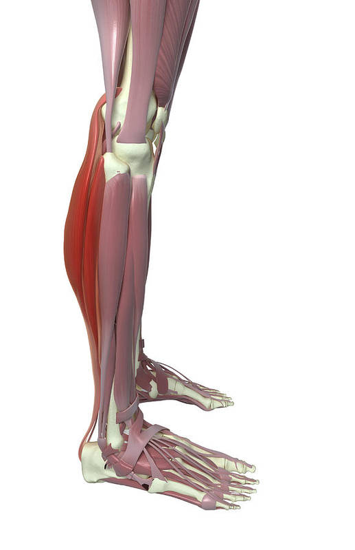 Vertical Art Print featuring the photograph Gastrocnemius And Soleus Muscle by MedicalRF.com