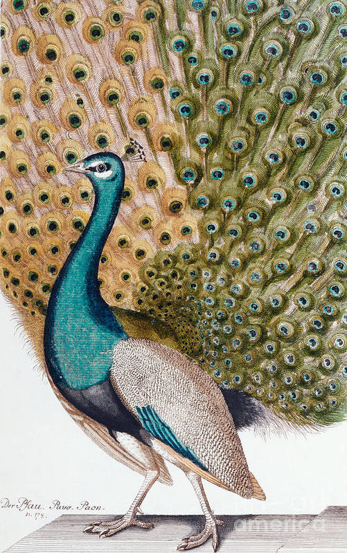 Peacock Art Print featuring the painting A Male Peacock in Full Display, 1763 by Johann Leonhard Frisch
