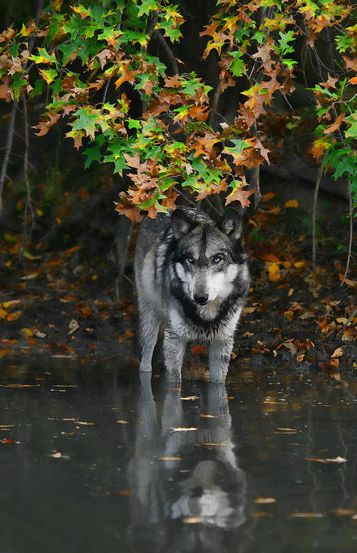 Wolf Wolves Lupine Canis Lupus Wildlife Animal Photography Photograph Art Print featuring the photograph Autumn Wolf by Shari Jardina