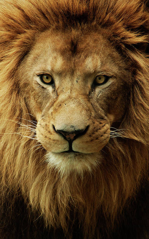 Animal Themes Art Print featuring the photograph Portrait Male African Lion by Brit Finucci