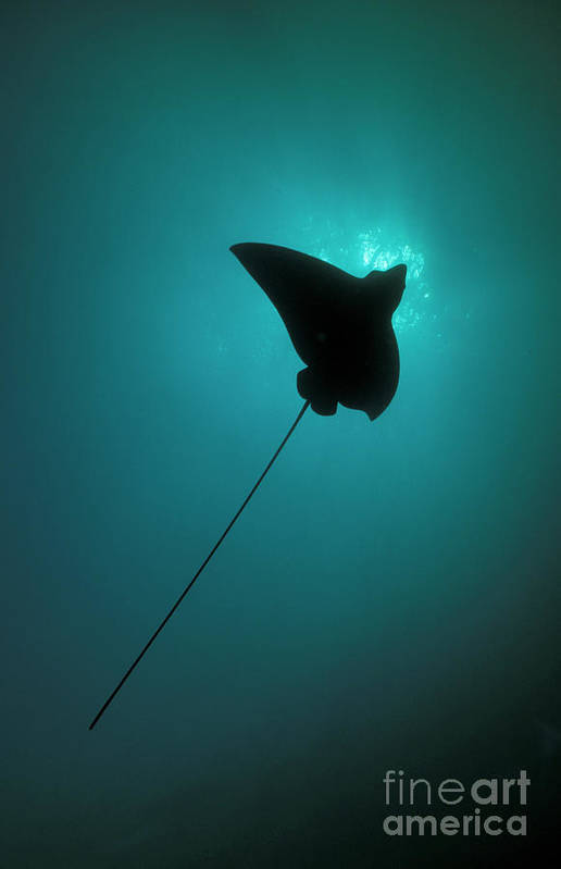 Underwater Art Print featuring the photograph Spotted Eagle Ray Silhouetted by Steve Jones/stocktrek Images