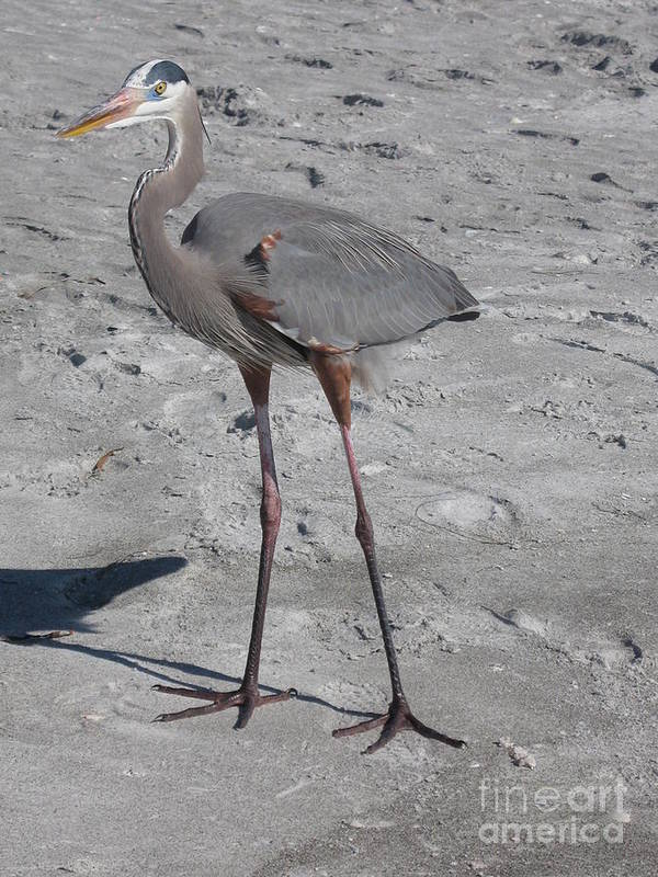 Heron Art Print featuring the photograph Great Blue Heron On The Beach by Christiane Schulze Art And Photography