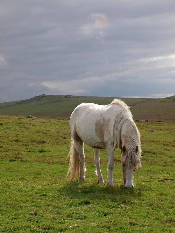 Horse Art Print featuring the photograph Moorland Pony, Davidstow, Bodmin Moor by Nik Taylor