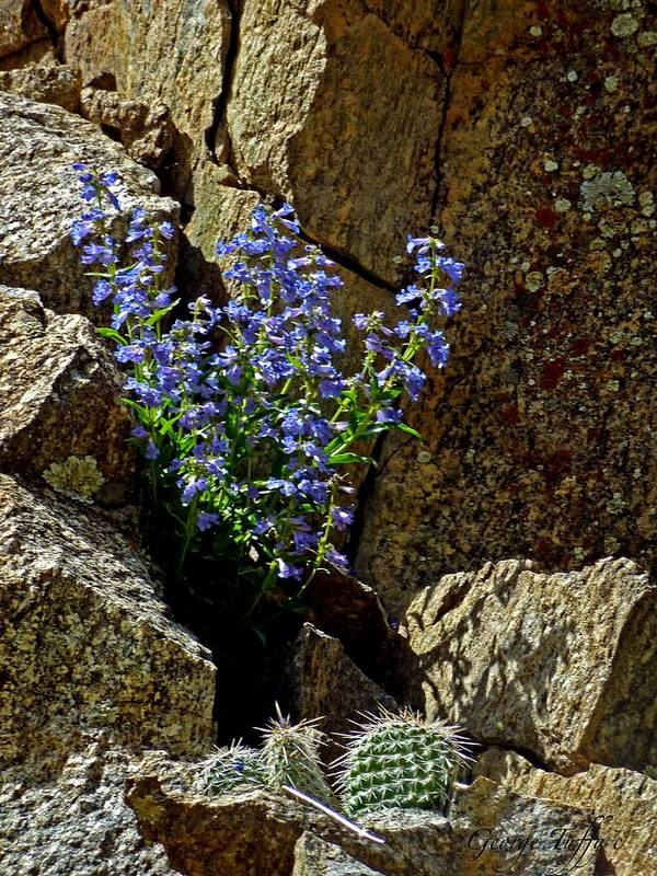 Wildflower Photography Art Print featuring the photograph Persistence by George Tuffy