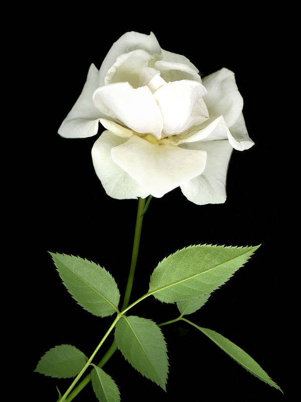 Roses Art Print featuring the photograph White Rose by Jim Smith
