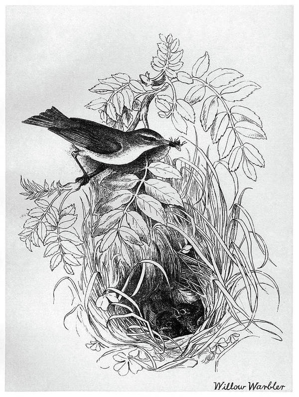 1895 Art Print featuring the drawing Blackburn Birds, 1895 by Granger