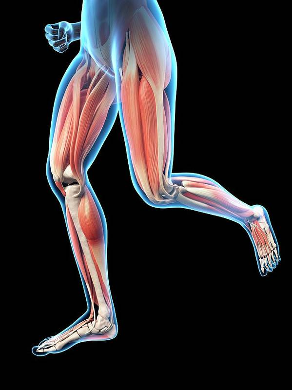 Artwork Art Print featuring the photograph Human Leg Muscles by Sebastian Kaulitzki