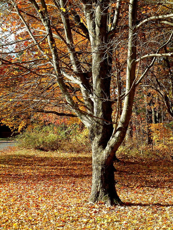 Tree Art Print featuring the photograph A Fall Tree In New England by Mike McCool