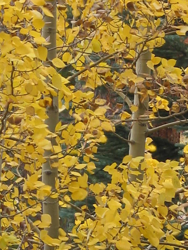 Aspen Art Print featuring the photograph Aspens In The Fall 1 by Jacqueline Russell