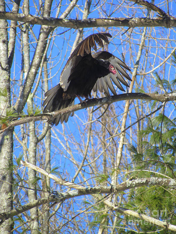Turkey Vulture Art Print featuring the photograph Attack Of The Turkey Vulture by Elizabeth Dow
