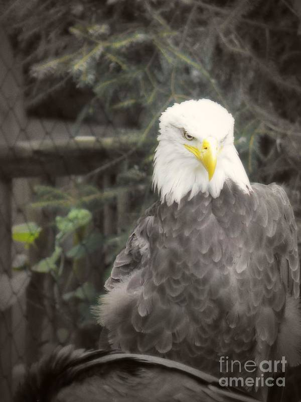 Eagle Art Print featuring the photograph Bald Eagle by Dawn Gari