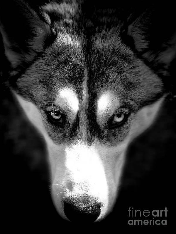 Husky Art Print featuring the photograph Beautiful Husky by Karen Lewis