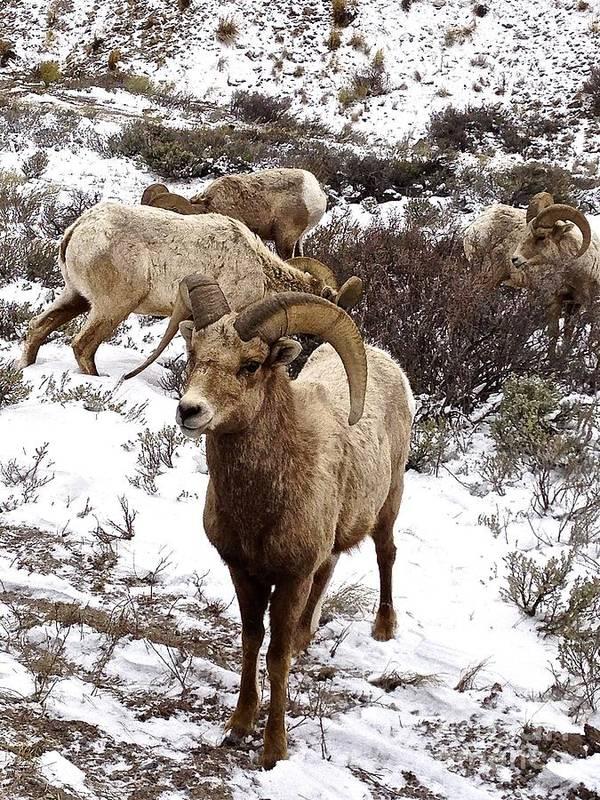 Sheep Art Print featuring the photograph Big Horn Sheep In The Snow by Tisha Clinkenbeard