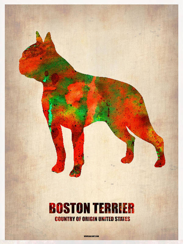 Boston Terrier Print featuring the painting Boston Terrier Poster by Naxart Studio
