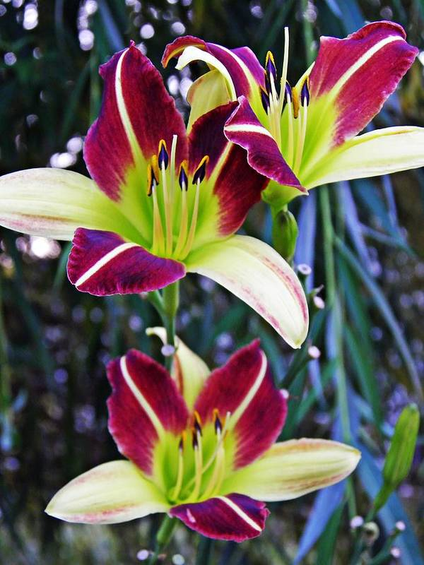 Burgundy And Yellow Lilies 3 Art Print featuring the photograph Burgundy And Yellow Lilies 3 by Sarah Loft