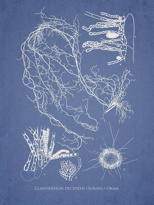 Algae Art Print featuring the drawing Cladosiphon Decipiens by Aged Pixel