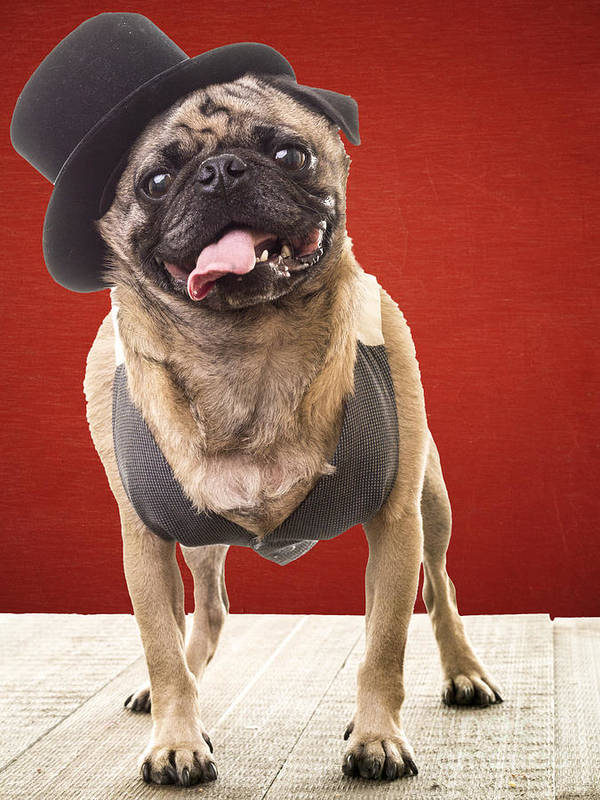 Pet Print featuring the photograph Cute Pug Dog In Vest And Top Hat by Edward Fielding