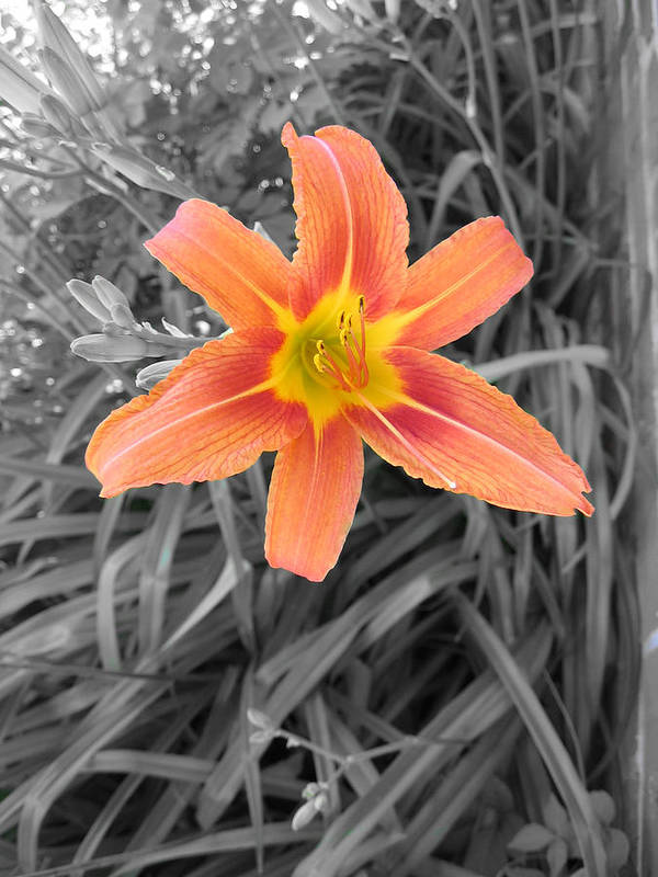 Day Lily Art Print featuring the photograph Day Lily by Brent Leslie