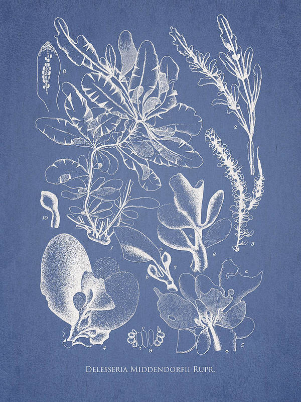 Algae Art Print featuring the drawing Delesseria Middendorfii by Aged Pixel