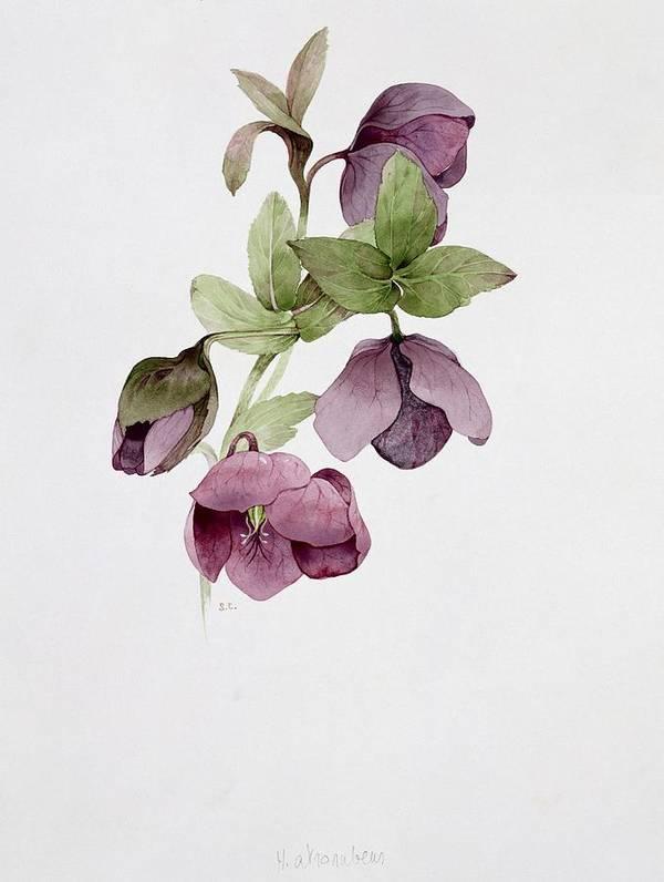 Botanical; Flower Print featuring the painting Helleborus Atrorubens by Sarah Creswell