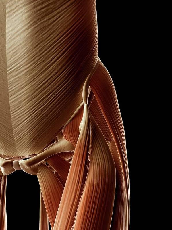 Artwork Art Print featuring the photograph Human Hip Muscles by Sebastian Kaulitzki
