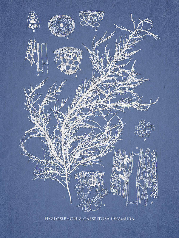 Algae Art Print featuring the drawing Hyalosiphonia Caespitosa Okamura by Aged Pixel