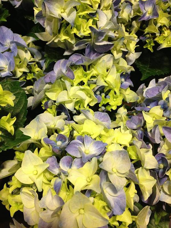 Lavender Color Art Print featuring the photograph Lavender And Yellow Hydrangea by Elisabeth Ann