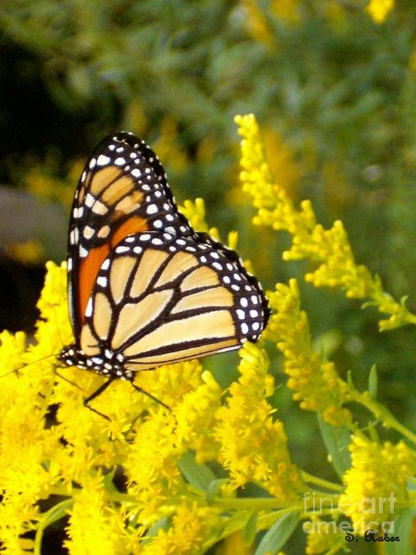 Monarch Art Print featuring the photograph Monarch by Sara Raber