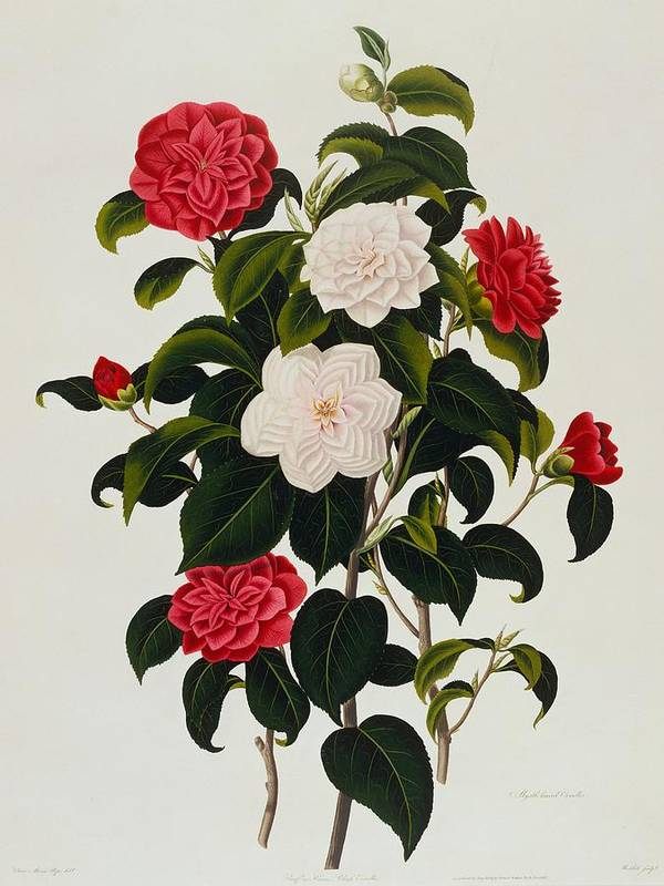 Flower Art Print featuring the painting Myrtle Leaved Camellia by Clara Maria Pope