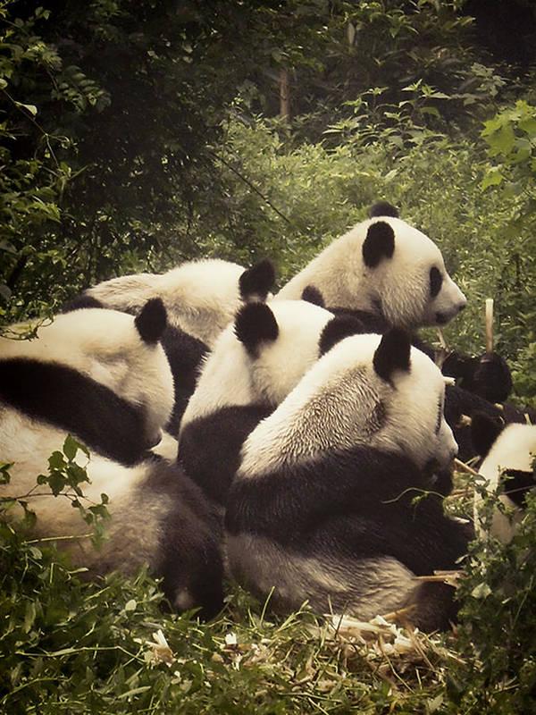 Animal Print featuring the photograph Pandamonium by Joan Carroll