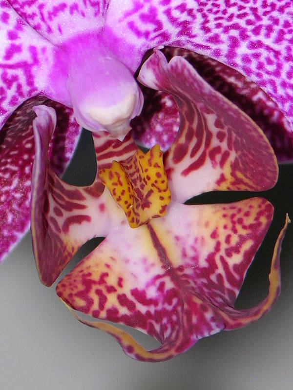 Orchid Art Print featuring the photograph Paradise by Lucy Howard