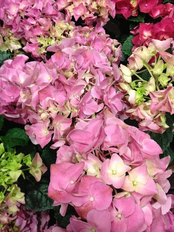 Pink Hydrangeas Art Print featuring the photograph Pink Hydrangeas by Elisabeth Ann