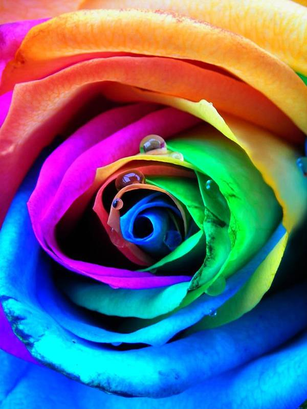 Rainbow Art Print featuring the photograph Rainbow Rose by Juergen Weiss