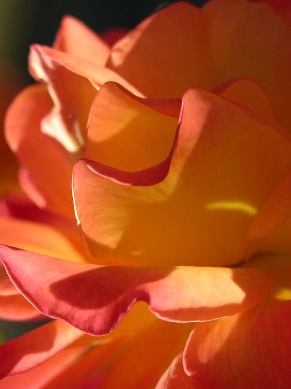 Rose Art Print featuring the photograph Rose Of Light by Lucy Howard