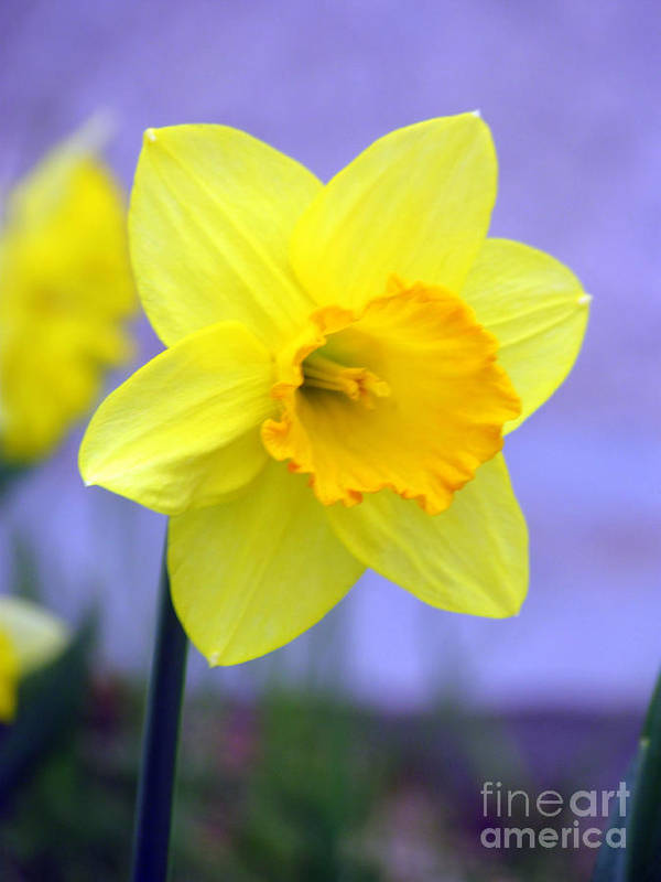 Jonquil Art Print featuring the photograph Simplicity by Elizabeth Dow