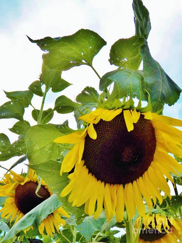 Sunflower Art Print featuring the photograph Sunflower Fields Forever Two by Judy Via-Wolff