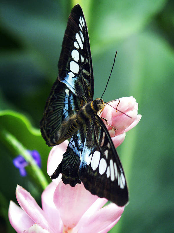 Swallowtail Art Print featuring the photograph Swallowtail Butterfly by Marilyn Hunt