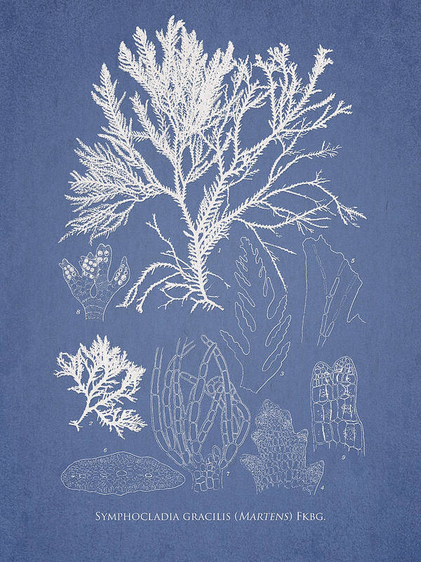 Algae Art Print featuring the drawing Symphocladia Gracilis by Aged Pixel