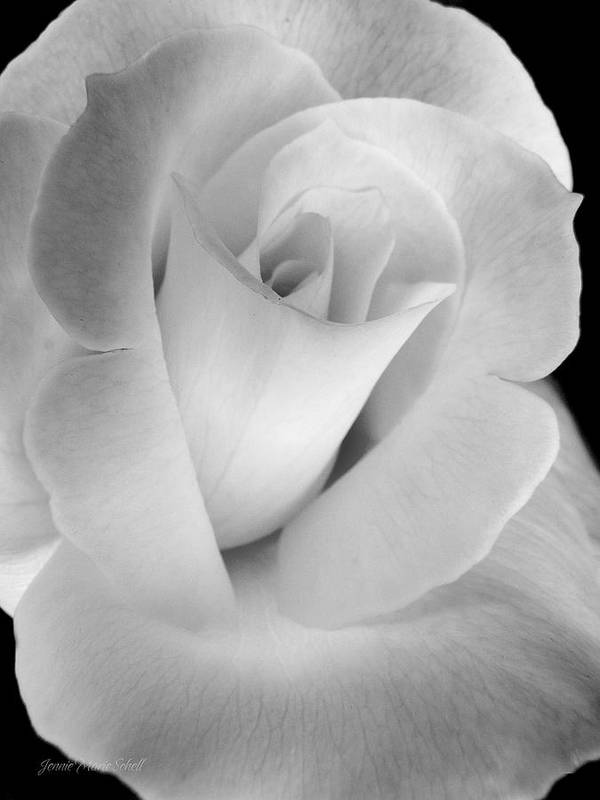 Rose Art Print featuring the photograph The Silver Rose In Portrait by Jennie Marie Schell