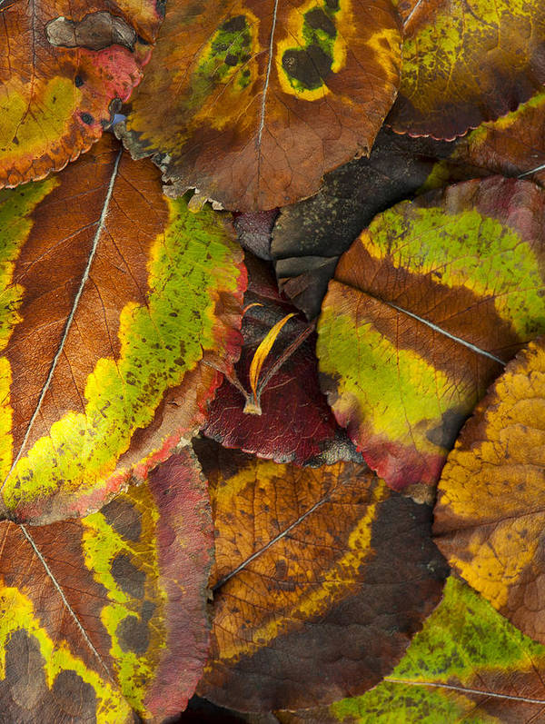 Leaf Art Print featuring the photograph Turning Leaves 4 by Stephen Anderson