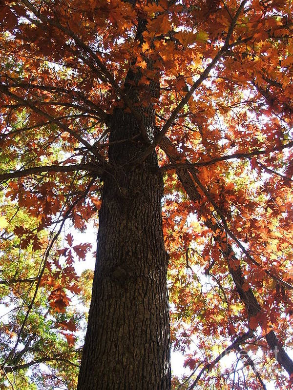 Tree Art Print featuring the photograph Up Fall by Minding My Visions by Adri and Ray