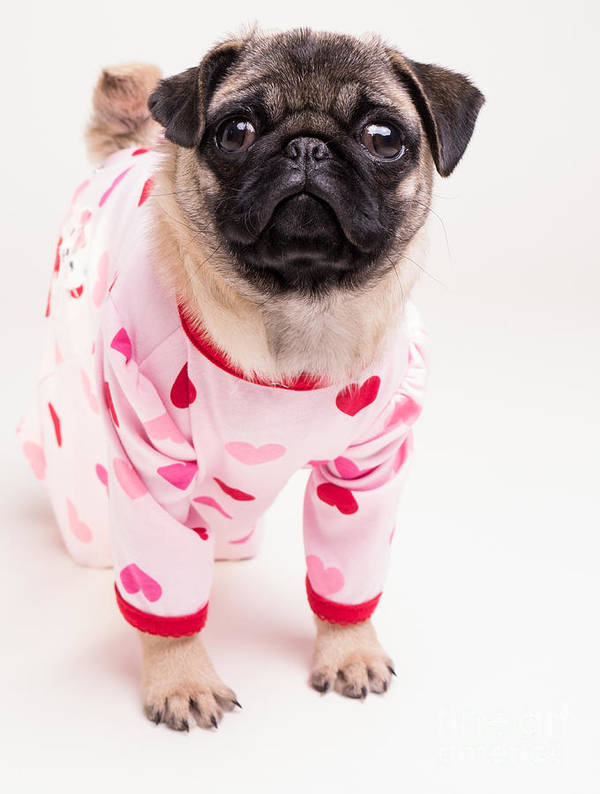 Pug Art Print featuring the photograph Valentine's Day - Adorable Pug Puppy In Pajamas by Edward Fielding