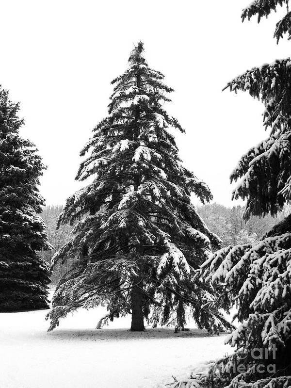 Winter Art Print featuring the photograph Winter Pines by Ann Horn