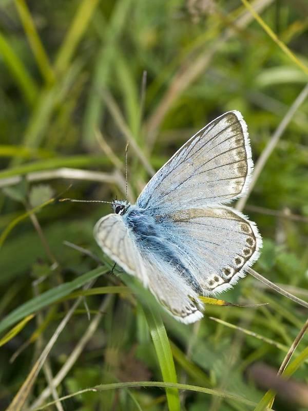 Chalkhill Blue Butterfly Art Print featuring the photograph Chalkhill Blue Butterfly by Adrian Bicker